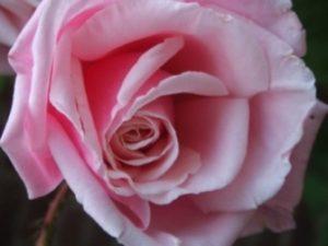 Birgit Jütten - Rose